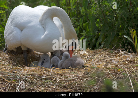 Mute Swan, Cygnus olor with cygnets on the nest - Stock Photo