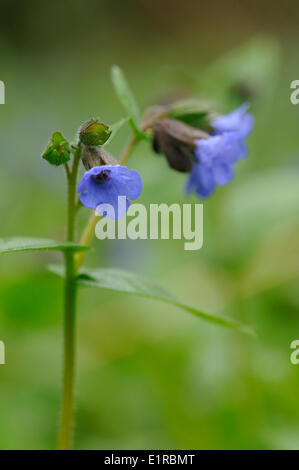 Flowering Mountain Lungwort in a humid slope forest in the region of Nijmegen - Stock Photo