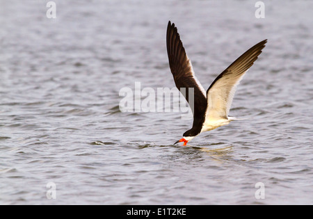 Black skimmer (Rynchops niger) fishing at sunrise along the shore, Galveston, Texas, USA. - Stock Photo