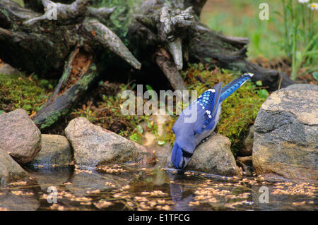 Blue Jay (Cyanocitta cristata) Adult drinking, Ontario, Canada. - Stock Photo