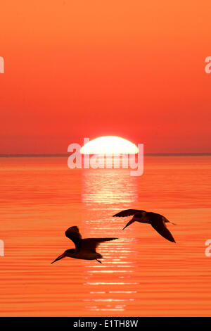 Black skimmers (Rynchops niger) flying to their nocturnal roost, coastal Florida - Stock Photo
