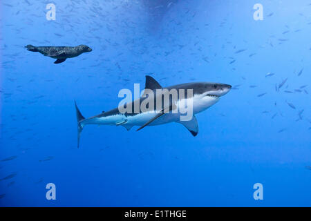 Great white shark (Carcharodon carcharias) being harassed by a juvenile California sea lion (Zalophus californianus) - Stock Photo
