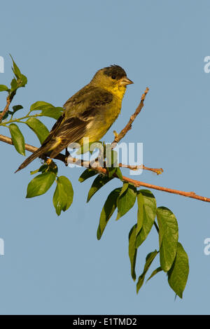 Lesser Goldfinch, Carduelis psaltria, Arizona, USA - Stock Photo