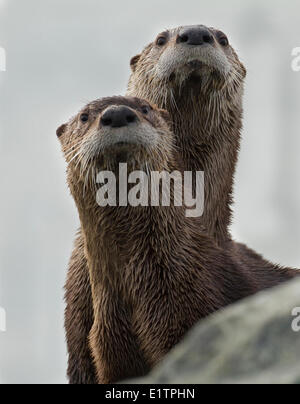 North American river otter, Lontra canadensis, Victoria, BC, Canada - Stock Photo