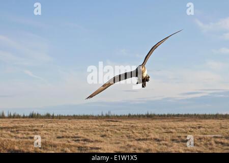 Parasitic Jaeger, Arctic Skua, flying over the tundra near Churchill Manitoba, Canada. - Stock Photo