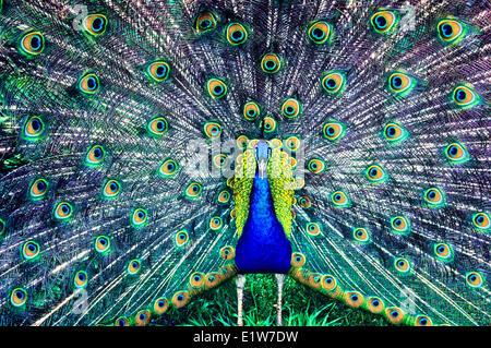 Blue Peacock, (Pavo cristatus) - Stock Photo