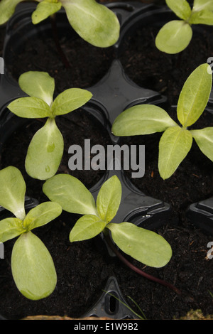 giant sunflower seedlings in pots Helianthus annuus - Stock Photo