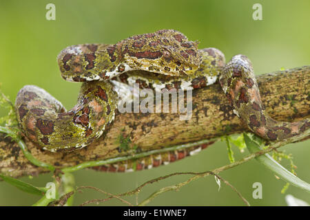 Eyelash Viper, Bothriechis schlegelii, perched on a branch in Costa Rica, Central America. - Stock Photo