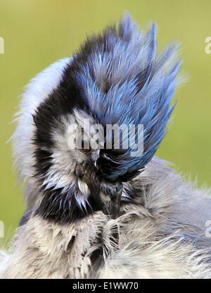 Portrait of a Blue Jay, Cyanocitta cristata,  in Saskatoon, Saskatchewan, Canada - Stock Photo
