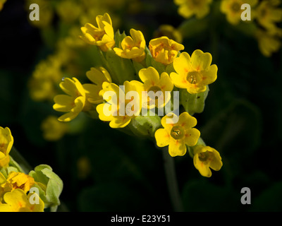 Primula veris, common cowslip, close up of its deep yellow flowers Oslo Norway - Stock Photo