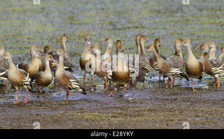 Plumed Whistling-duck (Dendrocygna eytoni) flock, roosting on mudflat, Hasties Swamp N.P., Atherton Tableland, Great - Stock Photo