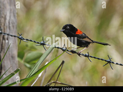 Red-backed Fairywren (Malurus melanocephalus) adult male, perched on barbed wire fence, Atherton Tableland, Great - Stock Photo