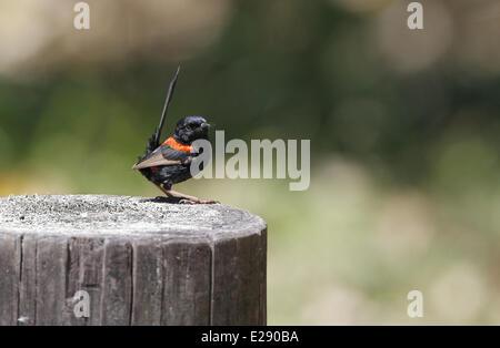 Red-backed Fairywren (Malurus melanocephalus) adult male, perched on roadside fencepost, Atherton Tableland, Great - Stock Photo