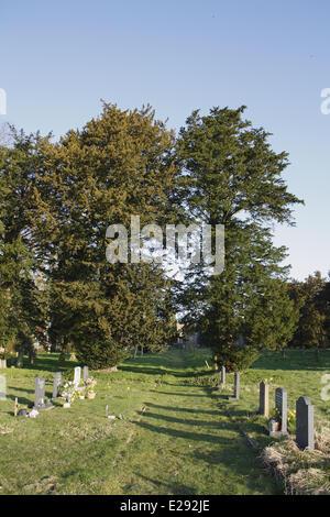 Common Yew (Taxus baccata) habit, growing in church graveyard, St. Mary's Church, Mendlesham, Suffolk, England, - Stock Photo