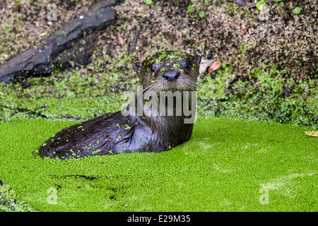 Young North American River Otter (Lontra canadensis) playing in the marsh, Egan's Creek Greenway, Florida - Stock Photo