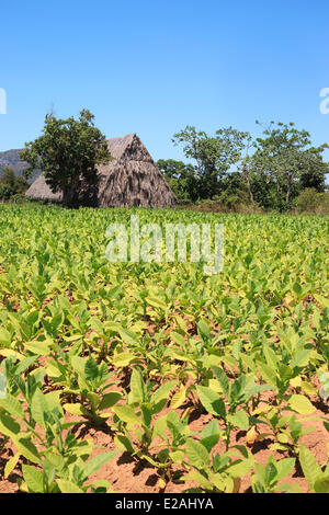 Cuba, Pinar del Rio Province, Vinales Valley listed as World Heritage by UNESCO, tobacco field and tobacco drying - Stock Photo