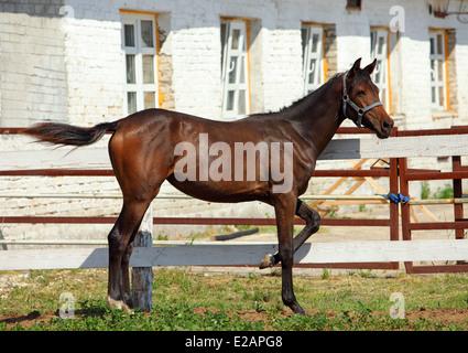 Hanoverian horse foal in a paddock on a Stud Farm - Stock Photo