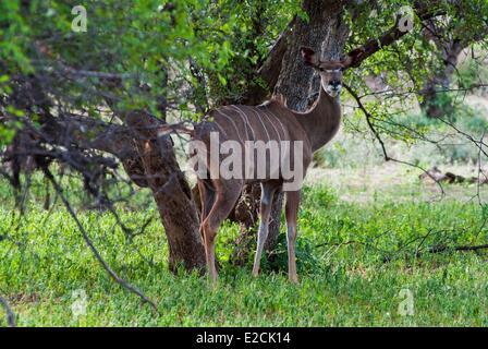 Namibia, Female Greater Kudu (Tragelaphus strepsiceros) - Stock Photo