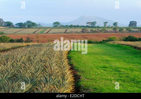 Swaziland Manzini district Malkerns valley pineapple cultivation - Stock Photo