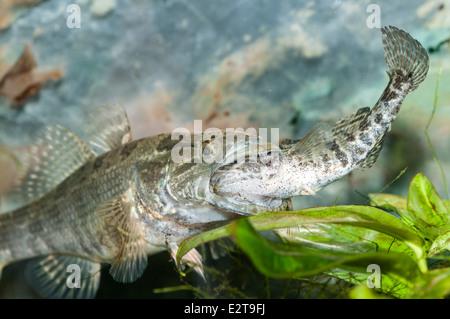 Predatory fish Chinese sleeper Percottus glenii eating other specimen of the same species - Stock Photo