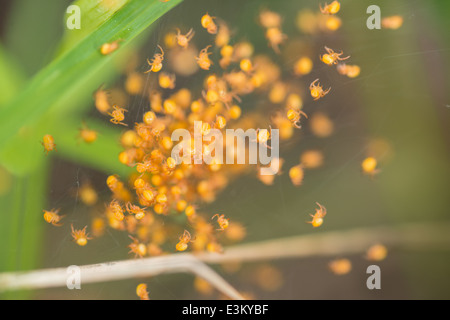 A nest of baby spiders hidden in the grass, Elk Island National Park, Alberta, Canada - Stock Photo