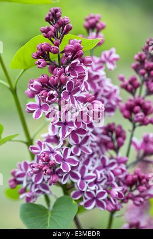 Syringa vulgaris Sensation, Lilac. Shrub, April. Magenta and white fragrant flowers. - Stock Photo