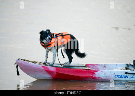 A dog with a buoyancy aid on a kayak waiting for the Severn Bore at Newnham-on-Severn, Gloucestershire UK 2014 - Stock Photo