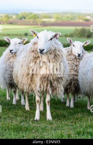 Sheep on field in the background the Shropshire countryside. England. - Stock Photo