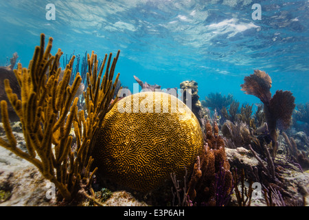 Close up of large round brain coral and branch coral on tropical coral reef in Caribbean Sea - Stock Photo