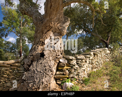 Horizontal portrait of Cork Oak tree, Quercus suber, in full leaf on a traditional stone wall . Extremadura.Spain. - Stock Photo