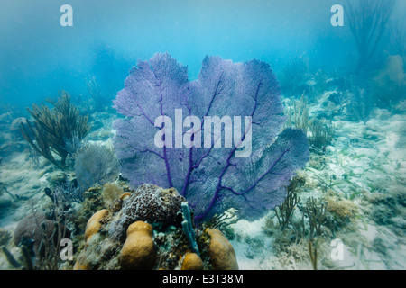 Purple Sea Fan displayed on hard coral colony on coral reef off coast of Belize - Stock Photo
