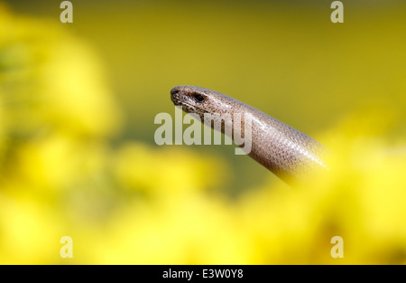Slow worm, Anguis fragilis, single reptile, Warwickshire, May 2014 - Stock Photo