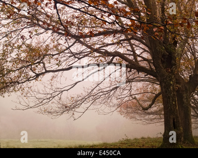 Horizontal portrait of lonely oak tree in mist. Basque Country. Spain. - Stock Photo