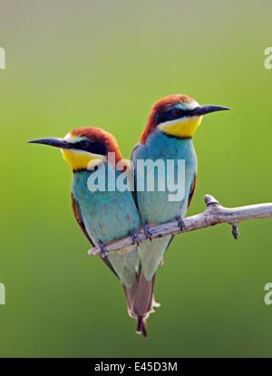 European Bee-eater (Merops apiaster) pair perched, Pusztaszer, Hungary, May 2008 - Stock Photo