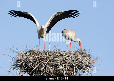 White stork (Ciconia ciconia) pair at nest site with chick, Lithuania, May 2009 - Stock Photo