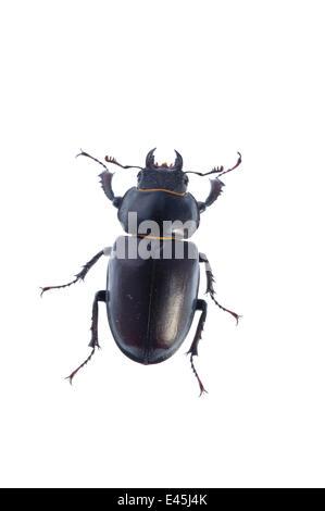 Female Stag beetle (Lucanus cervus) Suffolk, England, June 2009 - Stock Photo