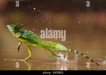 Green / Double-crested basilisk (Basiliscus plumifrons) running across water surface, Santa Rita, Costa Rica - Stock Photo