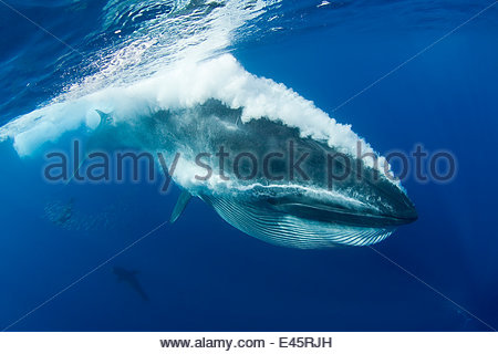 Bryde's whale (Balaenoptera brydei / edeni) expelling air and water from mouth through baleen plates after engulfing - Stock Photo