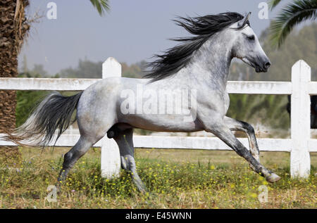 A grey Arab Barb stallion cantering in paddock at the National Stud of Meknes, Morocco, June 2010 - Stock Photo