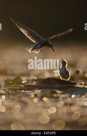 Silhouette of Black tern (Chlidonias niger) adult feeding chick on artificial breeding island, Lake Mueggelsee, - Stock Photo