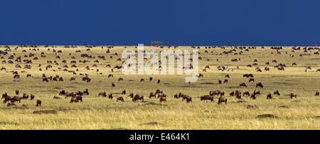Eastern White bearded Wildebeest (Connochaetes taurinus) herd feeding on the grass plains of Masai Mara National - Stock Photo