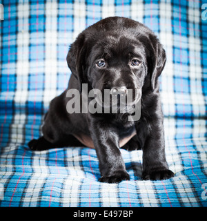 Beautiful Black Labrador Puppy Dog Sitting On Blue Plaid Background - Stock Photo