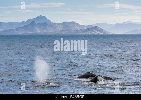 Adult humpback whales (Megaptera novaeangliae) feeding near Ilulissat, Greenland, Polar Regions - Stock Photo
