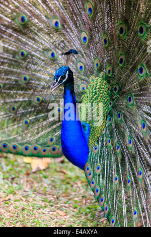 Beautiful vibrant peacock strutting his stuff for ladies - Stock Photo