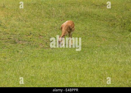 Fallow deer when grazing on green meadow grassland in forrest in summer - Stock Photo