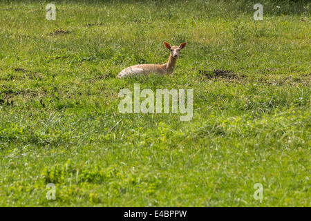 Fallow deer when ruminating on green meadow grassland in forrest in summer - Stock Photo