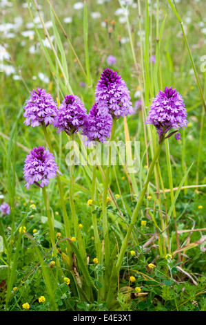 Anacamptis pyramidalis Pyramid orchid pyramidal pink native new forest - Stock Photo