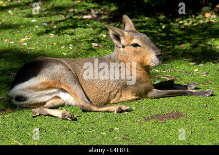 Patagonian hare or mara resting on a green lawn under the autumn sun - Stock Photo