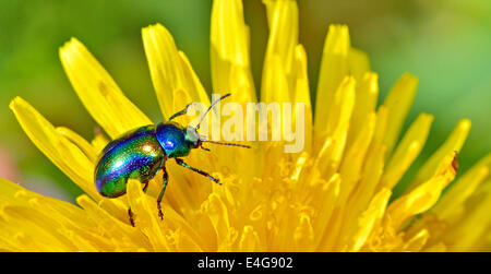 Protaetia aeruginosa isolated on yellow flower - Stock Photo