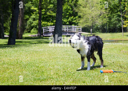 A dog shakes after swimming in the pond. His water toy lays beside him on the ground - Stock Photo